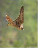 Peregrine Falcon Lift Off into the Mist 43