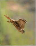 Peregrine Falcon Lift Off into the Mist 44