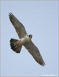 Peregrine Falcon 46