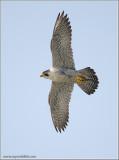 Peregrine Falcon 47