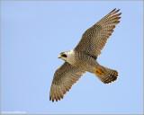 Peregrine Falcon 50