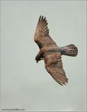 Peregrine Falcon in Flight 52