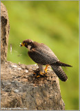Peregrine Falcon on Feather Duty 59