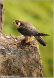 Adult Peregrine with Kill 61