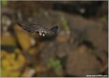 Peregrine Falcon in Flight 62