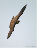 Peregrine Falcon in Flight 63