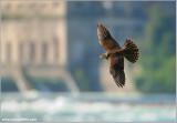 Peregrine Falcon in Flight 65