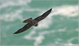 Peregrine Falcon in Flight 68