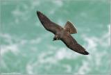 Peregrine Falcon in Flight 69