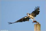 Osprey with Breakfast 47