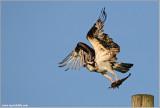 Osprey with Breakfast 48