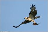 Osprey with Breakfast 49
