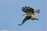 Osprey with Breakfast 51