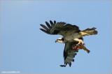Osprey with Breakfast 53