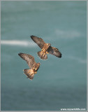 Young Peregrines in Flight 11
