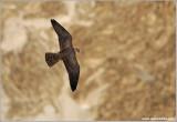 Peregrine Falcon in Flight 12