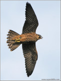 Peregrine Falcons in Flight 17