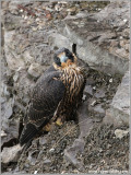 Young Peregrine on a cliff 19