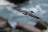 Peregrine Falcon in Flight 21