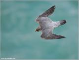 Peregrine Falcon over Niagara 22