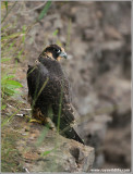 Young Peregrine on a cliff 23