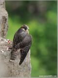 Peregrine Falcon 24