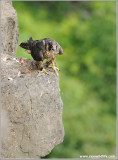 Young Peregrine about to Lift off 25