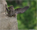 Peregrine Falcon Lift Off! 26