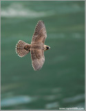 Young Peregrine in Flight 27