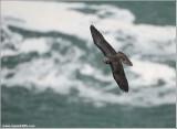 Peregrine Falcon over Niagara 28