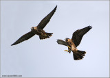 Young Peregrines in Flight 29