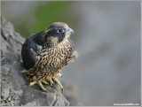 Young Peregrine on Watch!  31