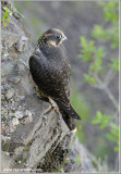 Peregrine Falcon on the Edge 32