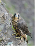 Young Peregrine on a cliff 33