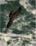 Peregrine Falcon over Niagara 36