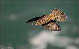 Peregrine Falcon ready to Dive 37