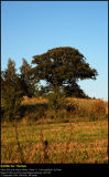 Old oak in Stubberup Moor, Nysted