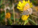 Small heath (Okkergul randøje / Coenonympha pamphilus)