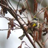 Yellow-rumped Warbler hidden