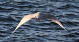 Iceland Gull in flight