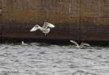 Glaucous Gull (middle) and Iceland Gull (right)