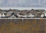 Herring Gull picking on the Iceland Gull