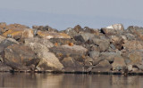 Fox sleeping on the breakwater