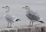 Herring Gulls... Any thoughts about the Herring Gull on the right?