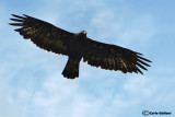 Aquila reale -Golden Eagle (Aquila chrysaetos)