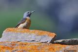 Codirossone-Rufous-tailed Rock Thrush (Monticola saxatilis)