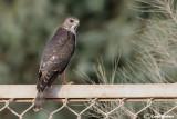 Sparviere levantino-Levant Sparrowhawk  (Accipiter brevipes)
