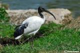 Ibis sacro -Sacred Ibis (Threskiornis aethiopicus)