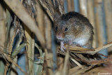 Topolino risaie-Harvest Mouse  (Micromys minutus)