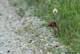 Donnola - Least Weasel (Mustela nivalis)